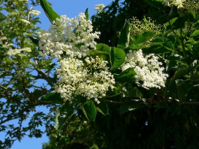 elderflower(2)